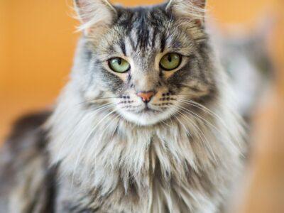 ΚΛΟΠΗ- ΑΠΩΛΕΙΑ: Γάτα- Μοναστηράκι Έχασα την γάτα μου στον Αγιόκαμπο Λάρισας στις 11-13 Ιουλίου, ασπρογκριζα γάτα 1,5 – 2 χρόνων. Χάθηκε κοντά σε μια κίτρινη γέφυρα η ανάμεσα από δυο beach bar ( Marbella