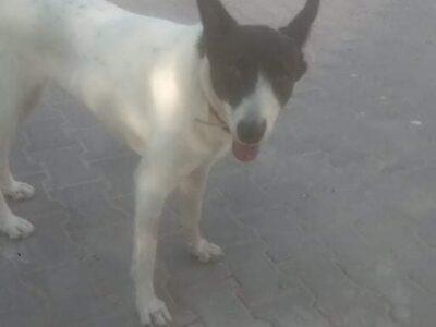 Χάθηκε η σκυλίτσα Στέλλα Αχαρνές Σκύλος- Αχαρνές
