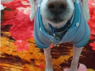 Χάθηκε σκύλος άσπρος Περιστέρι