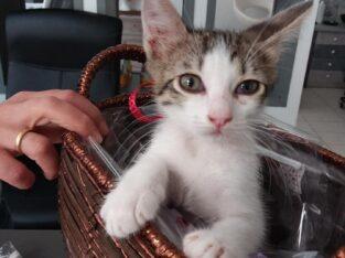 Βρέθηκε Σόνια γατακι Αθήνα Κατοικίδια- Αθήνα