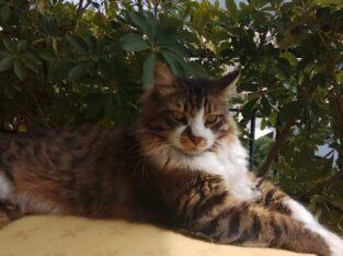 Χάθηκε γάτος μεγαλόσωμος Ανω Γλυφάδα, Πόκο, Κατοικίδιο-Ζώο-Χαθηκε- Γλυφάδα