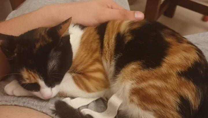 Χαρίζεται γάτα Calico αποπαρασιτωμένη Χανιά Κατοικίδια-Ζώα- Χανιά