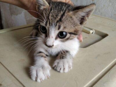 Χαρίζεται γατάκι λουκουμάκι Χανιά Κατοικίδια-Ζώα- Χανιά