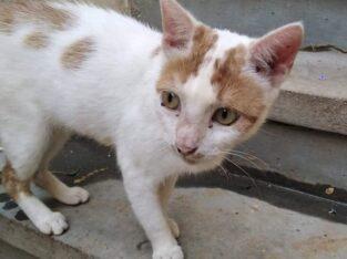 Χάθηκε γάτα, τυφλή, στειρωμένη, Χανιά Κατοικίδιο-Ζώο-Χαθηκε- Χανιά