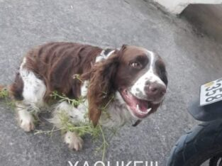 Χάθηκε σκύλος Χανιά Πελεκαπίνα Κατοικίδιο-Ζώο-Χαθηκε- Χανιά