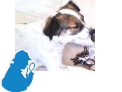 Χάθηκε μικσροσωμο σκυλί 8/10/20 στην περιοχή Αμπελοκήπους με Ψυχικό, ακούει στο όνομα Ρεξ, αρσενικό μικρόσωμο 10 κιλά Σκύλος- Ψυχικό