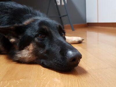 Βρέθηκε Λυκόσκυλο Θηλυκό περιοχή Κορωπί. Σκύλος- Κορωπί