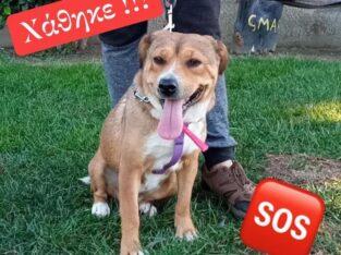 Χάθηκε θηλυκό σκυλάκι περιοχή Αμπελοκήπους Σκύλος-Χολαργό-Ιλίσια-Αθήνα Σκύλος- Αμπελόκηποι