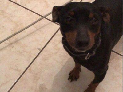 Χάθηκε σκυλάκι στην Χαλκίδα Σκύλος- Χαλκίδα