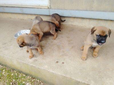 Χαρίζονται σκυλάκια Μαστίφ ημίαιμα Χανιά Σκύλος- Χανιά