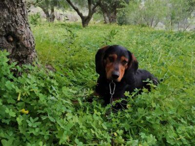 Χάθηκε σκύλος Σκύλος- Γάλιπε Ηράκλειο Κρήτης