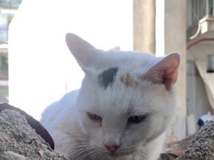 Χάθηκε η γατούλα στο Παγκράτι φορούσε μαύρο λουράκι στο λαιμό Γάτα- Αθήνα