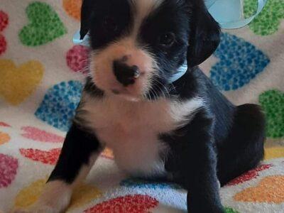 Χαρίζονται 4 ημίαιμα κοκονάκια -Χανιά Σκύλος- Χανιά