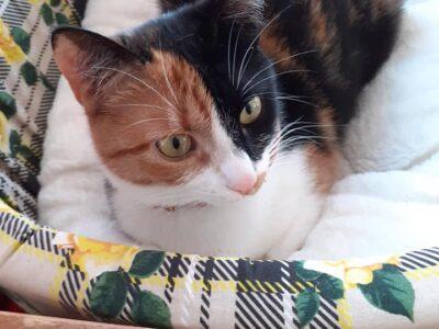 Χαριζεται πανεμορφη γατούλα Γάτα- Γαλάτσι