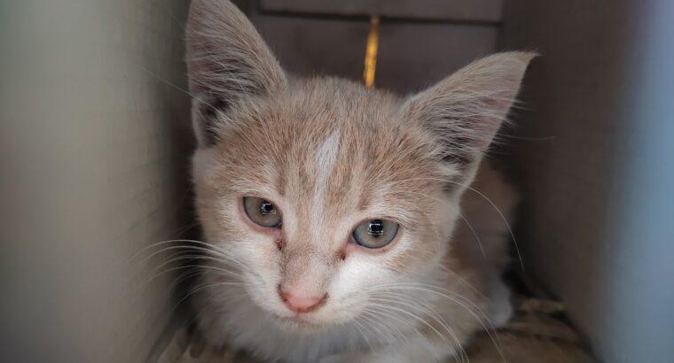 Βρέθηκε γατακι Γάτα- Θεσσαλονίκη