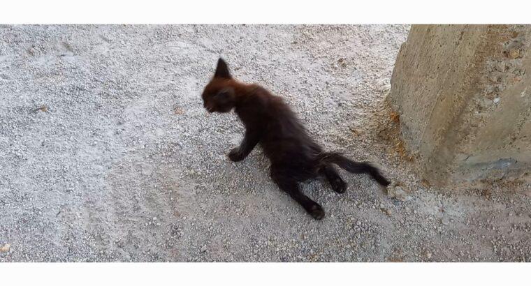 Χανιά παραπληγικό γατάκι χρήζει άμεσης βοήθειας Γάτα- Χανιά