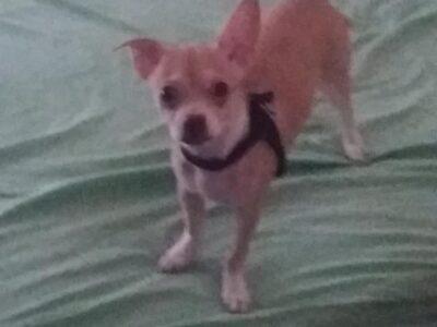 Χάθηκε μικρόσωμος σκύλος – Κάτω Πατήσια