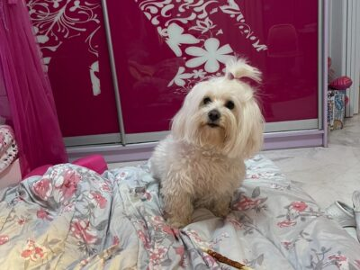 Χάθηκε σκυλάκι Σκύλος- Μαρούσι
