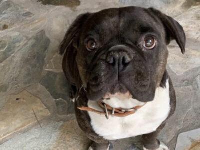 Χάθηκε Σκυλι στις περιοχές Αγιόκαμπος έως Αγία Λάρισας Σκύλος- Βελίκα