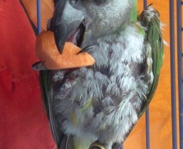 ΒΡΈΘΗΚΕ!!♥️♥️♥️-Χάθηκε παπαγάλος Σενεγάλης με δαχτυλίδι QT587 Πτηνό- Τερψιθέα