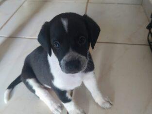 Χαρίζονται κουταβάκια Σκύλος- Αγία Πελαγία