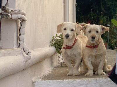 Χαθηκαν οι 2 σκυλιτσες μου ειναι πολυ φιλικες χαδιαρες και ακουνε στα ονοματα Μπουμπου και Κιττυ!!!Ειναι στειρωμενες προσφατα κουρεμενες!!! Σκύλος- Τσικαλαριά