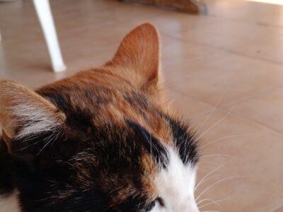 Βρέθηκε γατούλα στην Αρτεμιδα Αττικής Γάτα- Αρτέμιδα