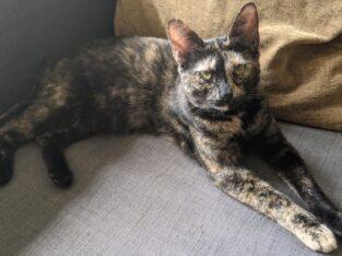 ΧΑΘΗΚΕ γάτα (Ταρταρούγα θηλυκιά) Γάτα- Ζωγράφου